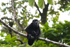 Rainforest Howler Monkey